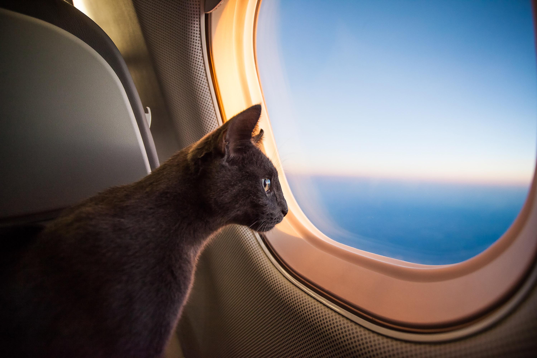 chat en avion
